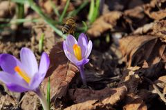 THE ARRIVAL OF SPRING: The bee and violets Royalty Free Stock Photos