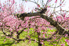The arrival of spring in the blossoming of peach trees treated w Royalty Free Stock Image