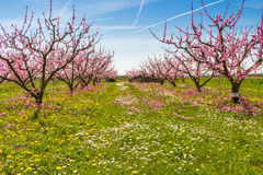The arrival of spring in the blossoming of peach trees treated w Stock Photography