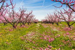 The arrival of spring in the blossoming of peach trees treated w Stock Images