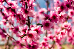 The arrival of spring in the blossoming of peach trees treated w Stock Photos