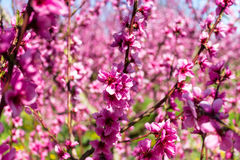The arrival of spring in the blossoming of peach trees treated w Stock Photo