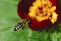 Arriving. Work bee approaching a flower Royalty Free Stock Photo