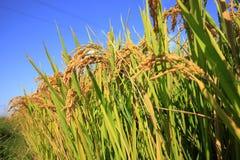 Arroces de arroz Fotografía de archivo libre de regalías