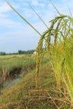 Arroces de arroz Fotos de archivo libres de regalías