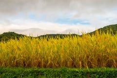 Arroces de arroz en el alto 2 Imagenes de archivo