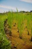 Arroces de arroz hermosos imagenes de archivo