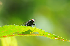 Arrogant fly Royalty Free Stock Photos