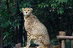 The arrogant leopard Stock Photography