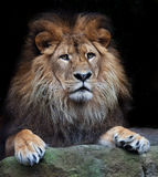 Arrogant lion. Beautiful lion from africa isolated against black stock image