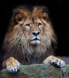 Arrogant lion Stock Image