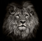 Arrogant lion. Beautiful lion from africa isolated against black royalty free stock photo