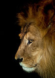 Arrogant lion. Beautiful lion from africa isolated against black stock images