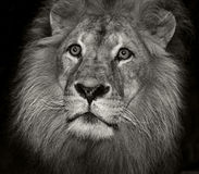 Arrogant lion Royalty Free Stock Photography
