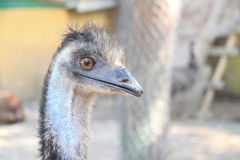 Arrogant ostrich Stock Photos