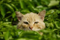 The arrogant red cat He hid. Fluffy. Yellow eyes, narrow pupils royalty free stock image