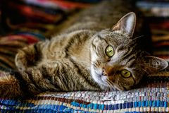 Beautiful gray cat lying on carpet. Arrogant short-haired domestic beautiful tabby cat lying on the fluffy striped carpet. Pet care and animals concept royalty free stock photos