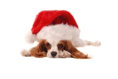 Arrogante Koning Charles Spanial in de Hoed van de Kerstman stock foto's
