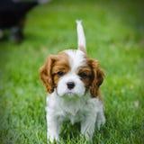Arrogante Koning Charles Spaniel Puppy Stock Foto