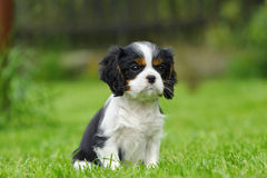 Arrogante Koning Charles Spaniel Puppy Stock Afbeelding