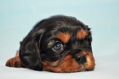 Arrogante koning Dog Charles Puppy Cocker Royalty-vrije Stock Foto's