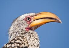Arroganter Yellowbill Hornbill Lizenzfreie Stockbilder