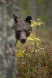 Arroje el oso Fotos de archivo