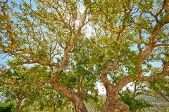 Arrolhe o carvalho (súber do Quercus) no sol da noite, o Alentejo Portugal foto de stock