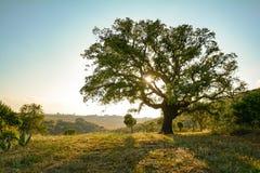 Arrolhe o súber do Quercus do carvalho e a paisagem mediterrânea no sol da noite, o Alentejo Portugal Europa fotografia de stock royalty free