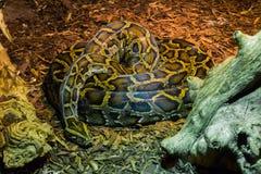 Arrollado encima de la serpiente grande del pitón que pone en el retrato animal de la fauna tropical de tierra foto de archivo libre de regalías
