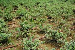 Arrosage d'égouttement Système d'irrigation Photographie stock