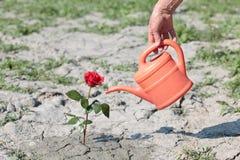 Arrosage d'une rose Photo stock