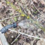 Arrosage de la groseille à maquereau avec du fongicide photographie stock