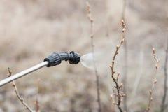 Arrosage de la groseille avec du fongicide image libre de droits