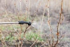 Arrosage de la groseille avec du fongicide photos libres de droits