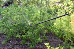 Arrosage des buissons de groseille à maquereau avec du fongicide au printemps photos libres de droits
