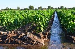 Arrosage des cultures agricoles, campagne arrosage naturel Images libres de droits