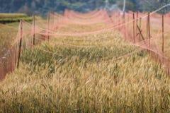 Arrosage du champ d'or d'orge Photo stock