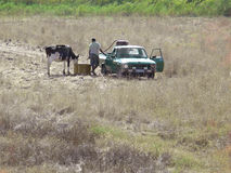Arrosant et alimentant la vache Photos stock