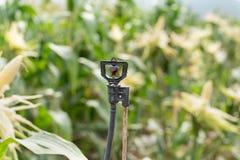 Arroseuse dans le haut tube pour le champ planté avec du maïs photo libre de droits