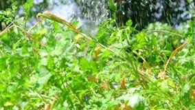 Arroseuse de pelouse stérilisant l'eau au-dessus de l'été vert banque de vidéos