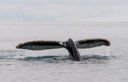 Arrosez déborder les flets de queue encroûtés par bernache de la baleine de bosse, péninsule antarctique photo stock