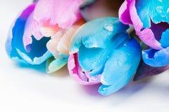 Arrosez la baisse sur les tulipes colorées multi peu communes Images libres de droits