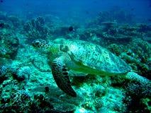 Arrosez la tortue en Malaisie Images libres de droits