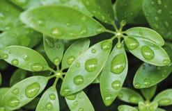 Arrosez les baisses sur les feuilles vertes à l'arrière-plan de nature de saison des pluies Photo libre de droits
