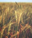 Arrosez les baisses sur le blé d'or dans le domaine au matin - vintage Image stock