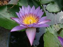 Arrosez lilly la fleur dans le nymphaeaceae scientifique de nom d'étang artificiel Images stock