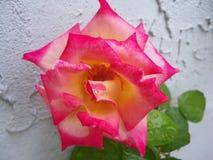 Arrossisca e dentelli Dick Clark Rose colorato fotografia stock libera da diritti