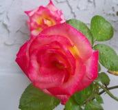 Arrossisce e Dick Clark Roses colorato rosa immagini stock