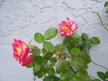 Arrossisce e Dick Clark Roses colorato rosa fotografia stock libera da diritti